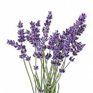 Lavender (P)