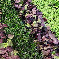 microgreen seeds