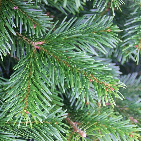 Christmas Tree Seeds.Christmas Tree Seeds The Green Seed Co Only 95p Per Packet