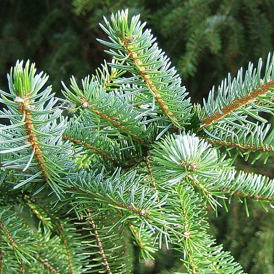 How Long Does It Take To Grow A Christmas Tree.Christmas Tree Seeds The Green Seed Co Only 95p Per Packet