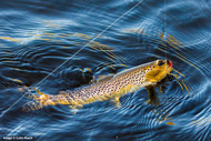 assynt wild brown trout
