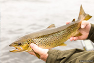 loch lomond brown trout