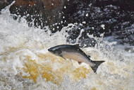 leaping salmon at shin falls