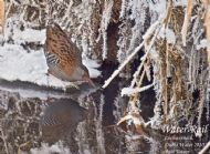 WATER RAIL  in winter photographed by Paul Tatner