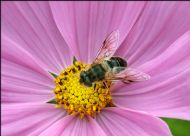Hoverfly (Eristalis pertinax) on Pink Cosmia flower
