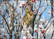 MISTLE THRUSH photographed by Ewan Douglas