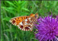 Small Pearl-bordered Fritillary photographed by Claire Paterson