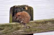 Water Vole at RSPB Baron's Haugh 13-3-2015 by Dave Mellor