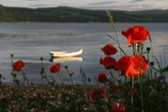 Close up of Poppies by the shore