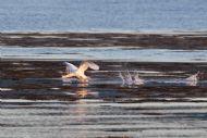 Swan takes flight