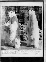 Polar Bears Awaiting Lunch