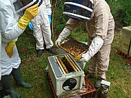 At the right time the frames from the two nuc boxes will be housed in a full-sized brood box.