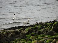 Family of swans at front of Clisham