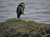 Heron on west coast