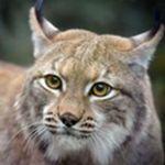 Image de profil de Lynx