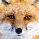 Image de profil de RenardeA
