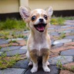 Image de profil de Seigneur chihuahua !