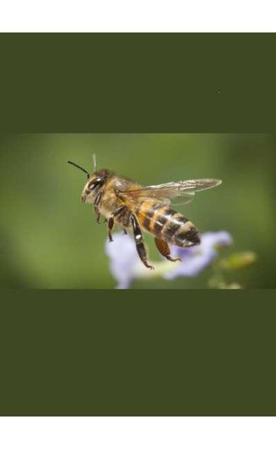 Image de couverture de L'abeille de Dieu