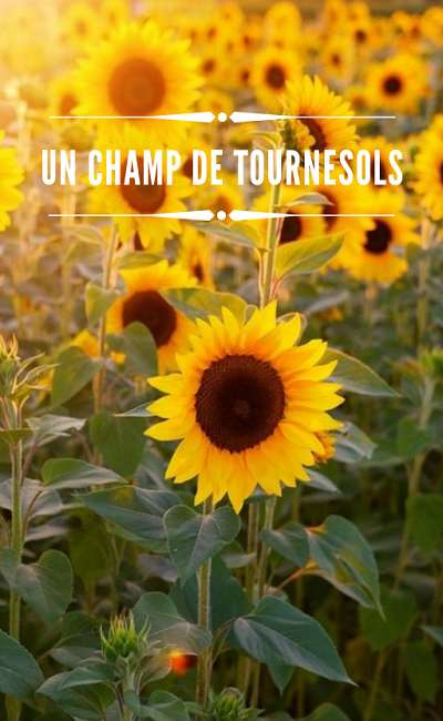 Image de couverture de Un champ de tournesols