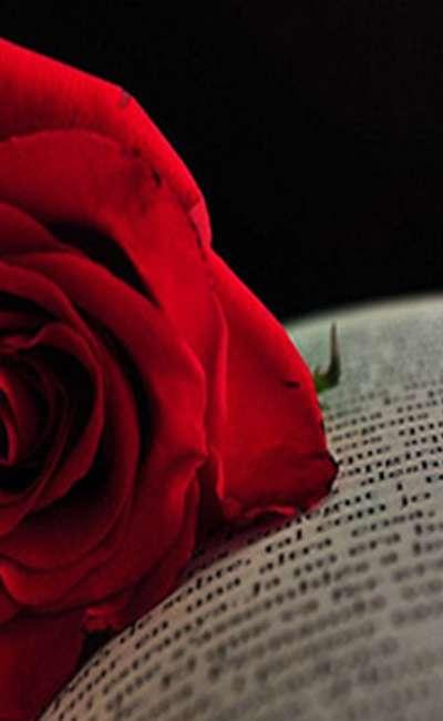 Une Rose Pour Un Amour éternel Scribay