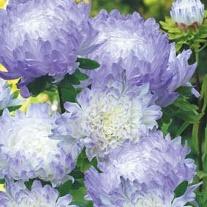 Aster Duchess Blue Ice