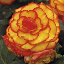 Begonia Picotee Sun Glow
