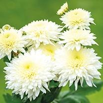 Chrysanthemum Gompie White