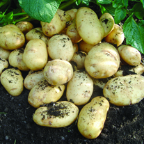 Second Early Seed Potatoes International Kidney
