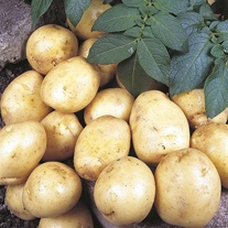 First Early Seed Potatoes Foremost AGM