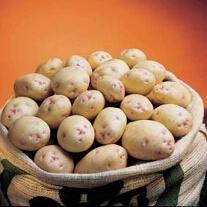 Maincrop Potatoes Cara