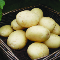 Extra Early Seed Potatoes Casablanca AGM