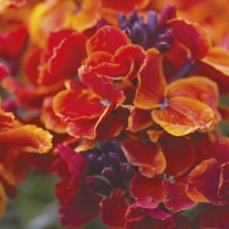 Wallflower Fire King Plants
