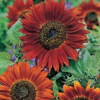 Sunflower Red Sun|Johnsons Seeds Flower Seeds