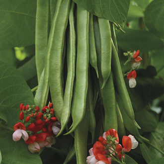 Runner Bean Tenderstar Seeds