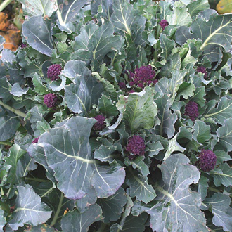 Sprouting Broccoli Red Fire F1 Seeds From D.T. Brown