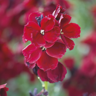 Wallflower Purple Shades Plants