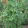Pea (Maincrop) Alderman Seeds