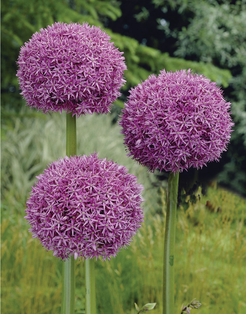Allium giganteum Seeds from Mr Fothergill's Seeds and Plants