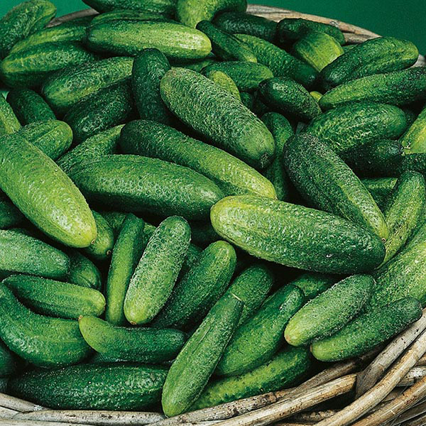 cucumber gherkin cornichon de paris seeds from mr fothergill 39 s seeds and plants. Black Bedroom Furniture Sets. Home Design Ideas