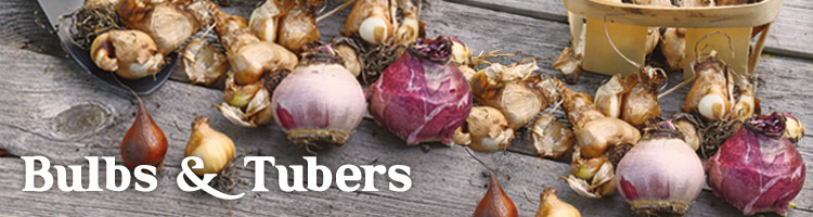 Bulbs and Tubers