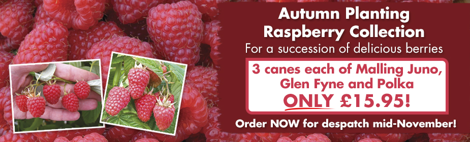 Autumn planting Raspberry Collection ONLY £15.95 - order now for despatch mid-November!