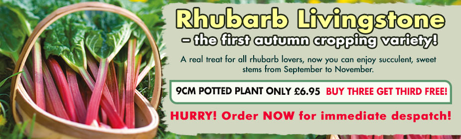Autumn planting Rhubarb Livingstone ONLY £6.95 - order now for immediate despatch!