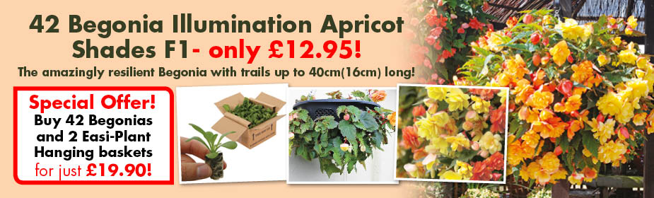 Best Selling Begonia Illumination ONLY £12.95!