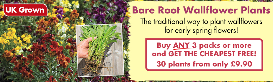 Bare Root Wallflower Plants - Buy ANY 3 packs and get the CHEAPEST FREE!