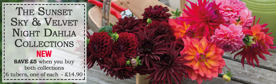 Save £5 when you buy the Sunset Sky & Velvet Night Dahlia Collection