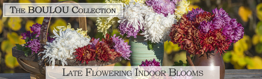 The Boulou Collection - late flowering indoor blooms