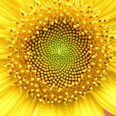 Helianthus whorl cropped
