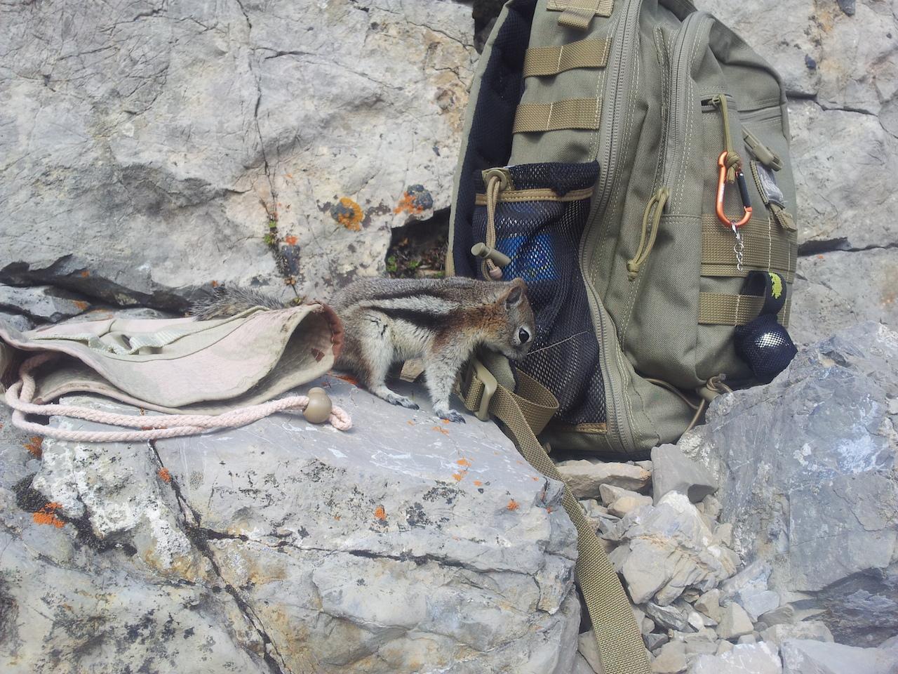 Chipmunk batohomilný
