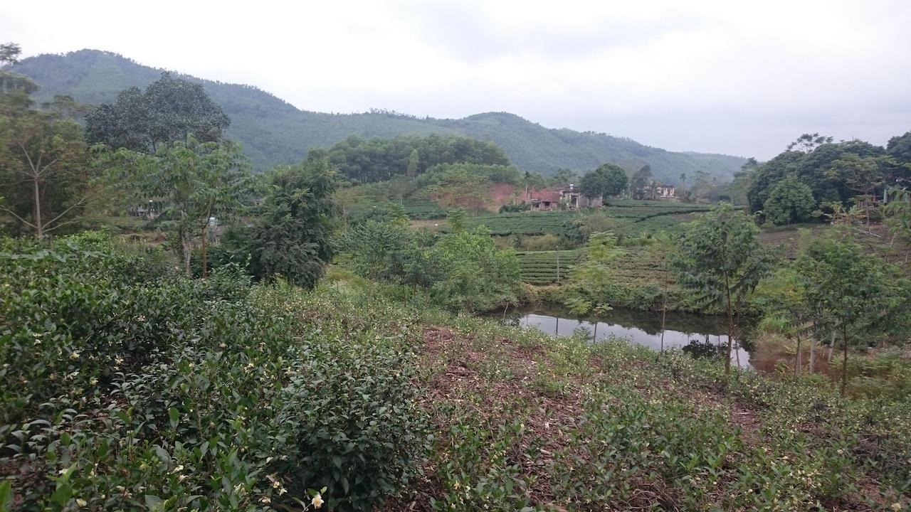 Zelený klid kvetoucí zahradní čajové plantáže