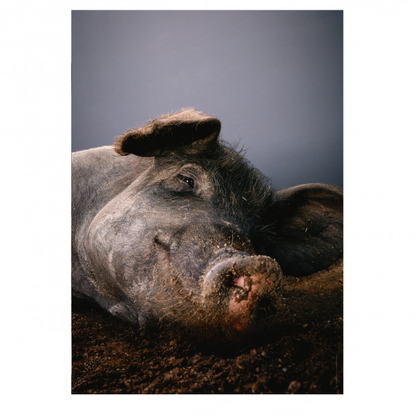 "Poster ""Saugut"" (Schwein)"